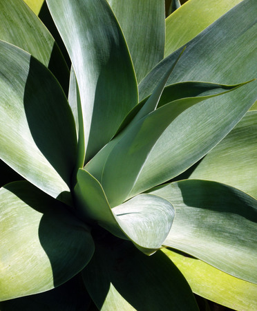 Agave vertical Stock Photo
