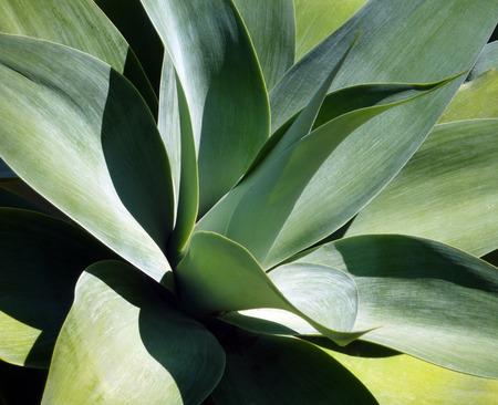 agave: Horizontal Agave