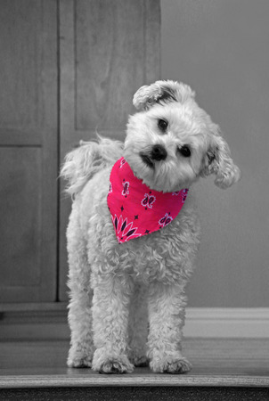 Cute dog in pink bandana Stock Photo