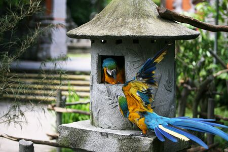 The two yellow-blue colorful parrot fighting. Indonesia. The bird Park. Blue and yellow parrot macaw