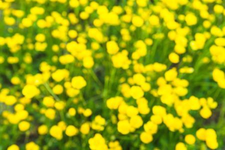 buttercup flower: Blurred lawn of the buttercup flower