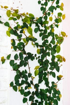 climber tree on wall Stock Photo