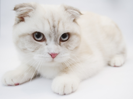 Front view of British shorthair cat, 7 months old photo