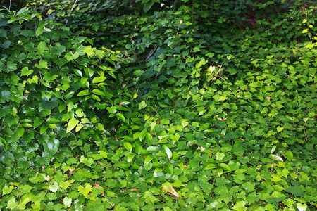 Vines on forest floor