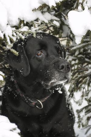 retreiver: Black Labrador in the winter under a pine tree