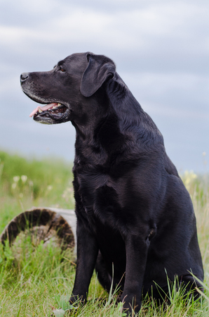 pawl: Black Labrador sitting in a summer field near the stump. Stock Photo