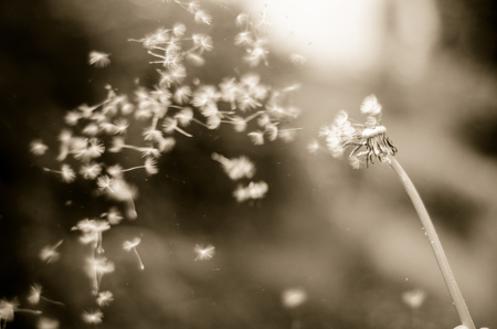 Vintage b&w photo of Dandelion with seeds blowing away across a blur background. Фото со стока - 63188124