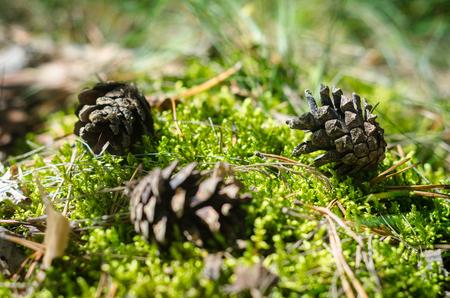 Tre pigne sul pavimento della foresta. Primo piano, breve profondità di campo.