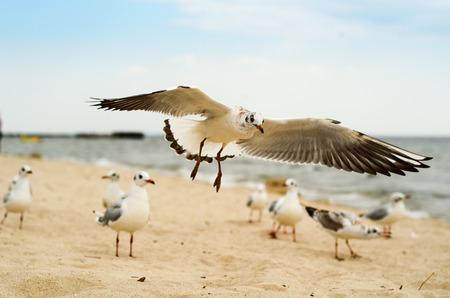 Seagull landing on the sand. Black Sea.