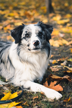 A Border Collie dog outdoors in the autumn park. Piebald color.