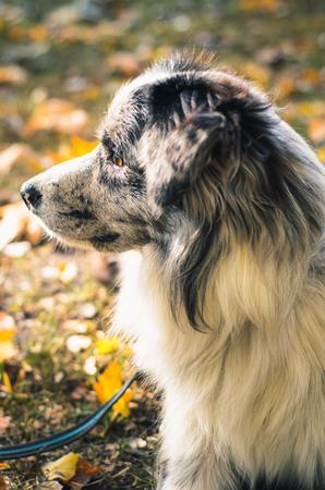 impediment: A Border Collie dog outdoors in the autumn park. Piebald color.