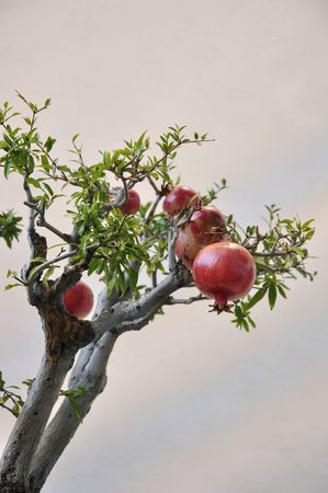 Pomegranates on branches.  Pomegranate fruit growing on tree, symbolic for the Jewish new year festival (Rosh Hashanah). Diffused gray background. photo