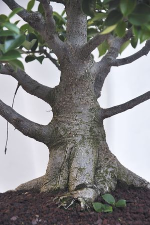 ficus: Trunk of big ficus tree. Stock Photo