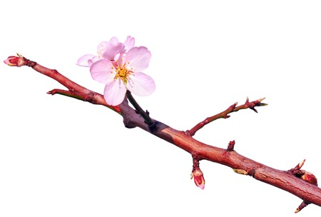 almond bud: Branch of almond tree with first flowers and turgid buds isolated over white. Beginning of blossom. Stock Photo