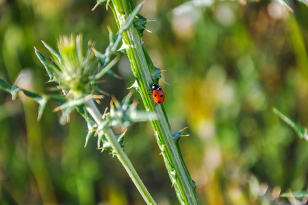 coccinellidae: Beautiful ladybug (coccinellidae) crawling up the thistle (carduus) stem. Blurred background.