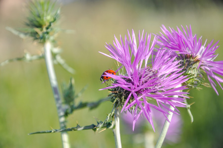 coccinellidae: Ladybug (coccinellidae) sitting on the violet flower of wild thistle (carduus). Blurred background.