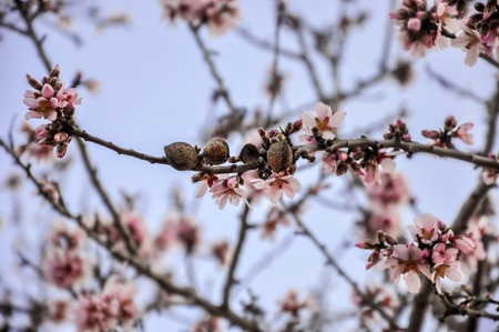 burgeon: Branch of almond tree in full bloom with old fruits,  flowers and buds on blurred background of evening sky.