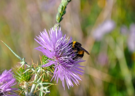 bombus: Bumblebee (bombus) sitting on the violet flower of thistle (carduus). Blurred background of flowers and grass.
