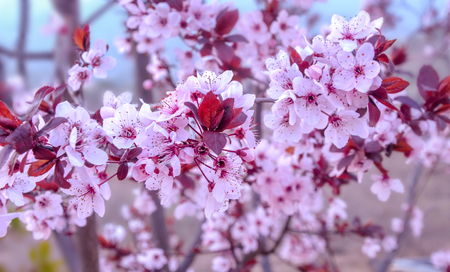 prunus cerasifera: Branches of beautiful purple leafed plum (Prunus cerasifera pissardii) with flowers and leaves.