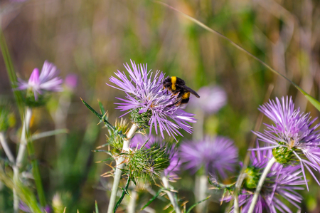 bombus: Blossoming thistle (carduus) and bumblebee (bombus) collecting pollen. Blurred background of flowers and grass. Stock Photo