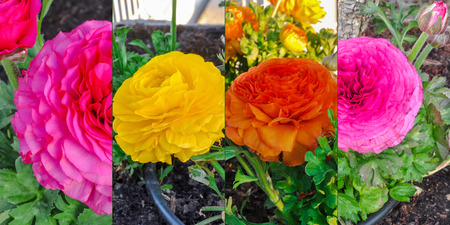 persian buttercup: Collection of colorful persian buttercup flowers (Ranunculus asiaticus) blooming in a garden. Springtime.