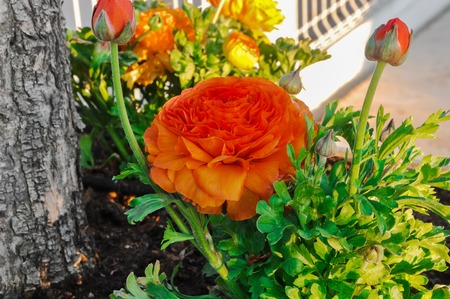 buttercup flower: Orange persian buttercup flower (Ranunculus asiaticus) blooming in a garden. Sunny day, Springtime. Stock Photo
