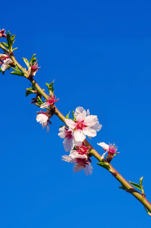 almond bud: Branch of almond tree with flowers and fresh leaves on background of blue sky. Springtime. Vertical. Stock Photo
