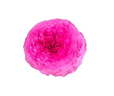 persian buttercup: Pink Persian Buttercup Flower (Ranunculus asiaticus) isolated over white.