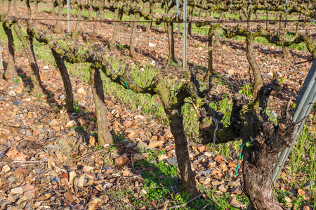 leaflets: Buds and first leaflets on a grapevines. Spring vineyard, Catalonia, Spain. Stock Photo