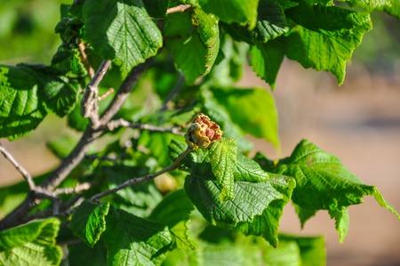 hazelnut tree: Hazelnut female bud stricken with disease on filbert tree. Selective focus.
