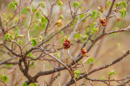 filbert: Twigs of filbert tree with buds and first leaves. Selective focus. Stock Photo