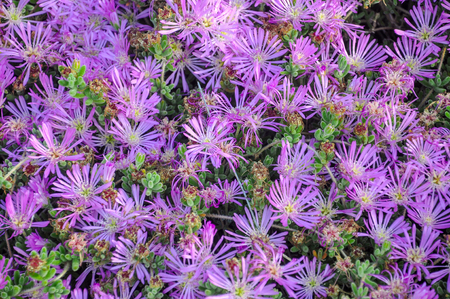hardy: Purple delosperma (Trailing iceplant, Hardy ice, Pink carpet) flower background. Top view. Horizontal.