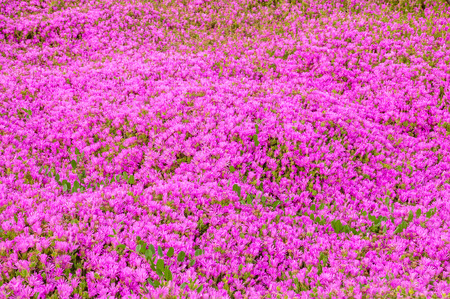 iceplant: Pink delosperma (Trailing iceplant, Hardy ice, Pink carpet) flower background. Horizontal. Stock Photo