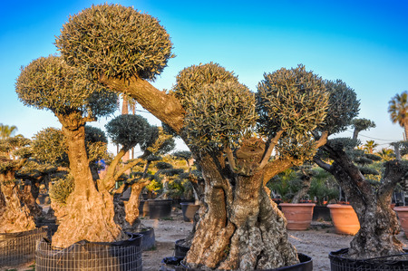 globular: Decorative olive trees with globular crowns offered for sale. Spain. Horizontal. Stock Photo