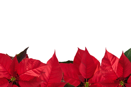 Christmas border with red poinsettia flower (Euphorbia pulcherrima) on white, copy space for text.