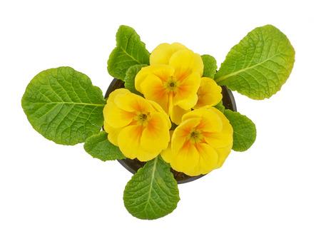 polyanthus: Primrose yellow flower violet isolated on white background Stock Photo