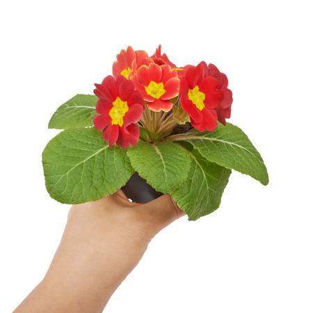 polyanthus: Primrose red flower violet isolated on white background