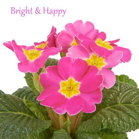 polyanthus: Primrose pink flower isolated on white