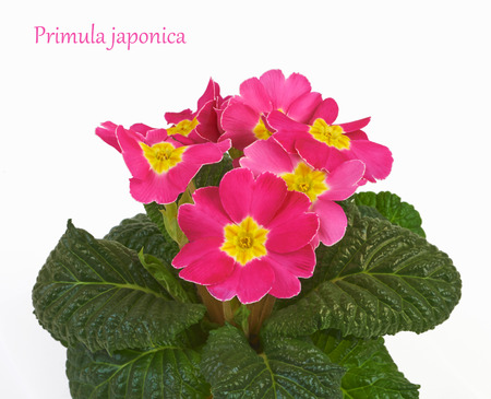 polyanthus: Primrose pink flowers isolated on white background
