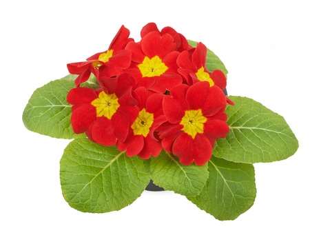 polyanthus: Red flower primrose violets isolated on white background
