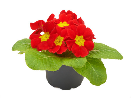 Red flower primrose violets isolated on white background