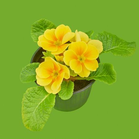 polyanthus: Primrose yellow flower violet Stock Photo