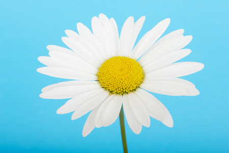 chamomile flower: Flower white chamomile daisies on blue sky background