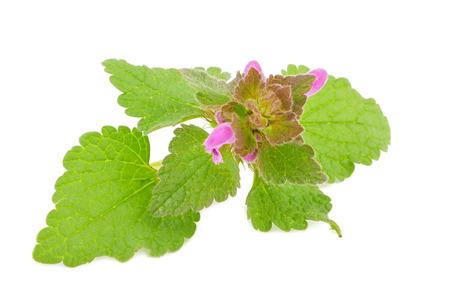 melissa: Fresh melissa  herb leaves isolated on white background