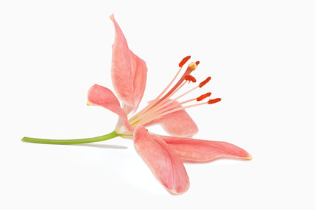 pink lily: beautiful Lily flower isolated on white background Stock Photo