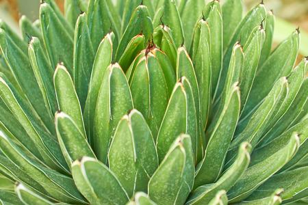 agave: Hojas verdes de agave