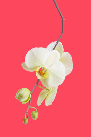 White orchid flower isolated on red background photo