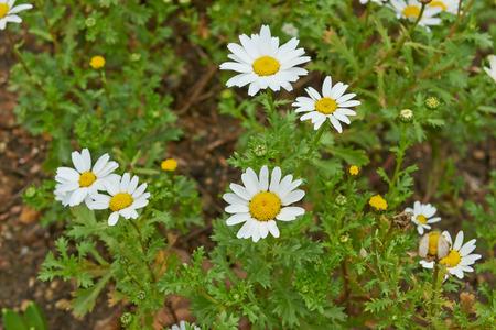 white daisies: Flowers white daisies