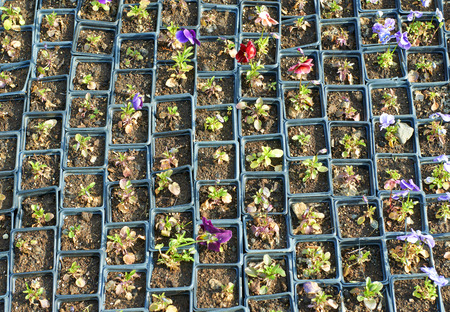 Pansy flowers potted seedlings photo