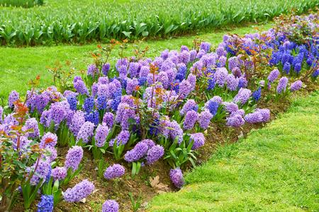 hyacints narcissus: Garden hyacinth (Hyacinthus orientalis) flowers
